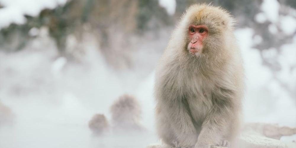 Japanese macaques sitting in a hot spring