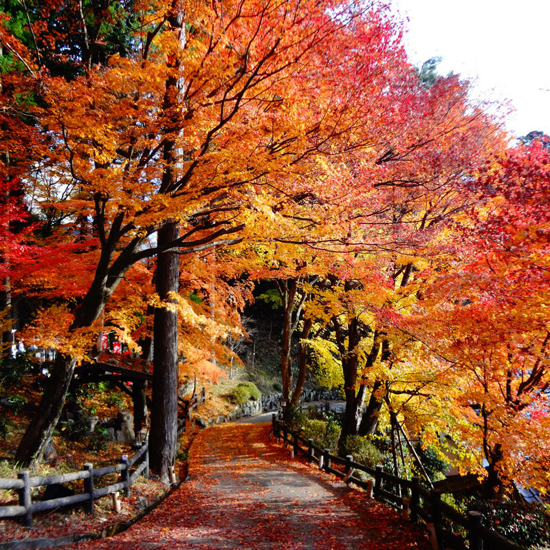 Top 7 spots for Gingko and Momiji (Japanese Maple) Autumn Leaves, recommended by locals in the Chubu Region.